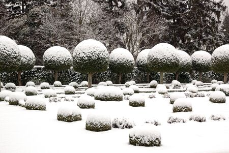 Box tree cut covered with snow, formal garden Stock Photo - 17475551