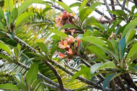 Flower of frangipani tree, plumeria, island of Madeira Stock Photo - 17771744