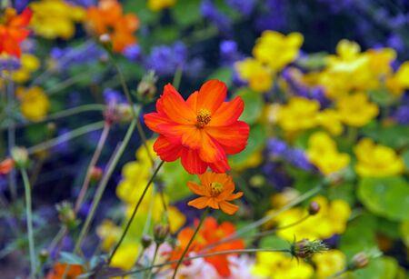Orange cosmos, summer flower garden in France