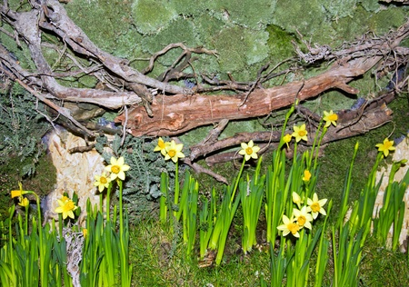 Flower arranging of the spring, the daffodils and the foam