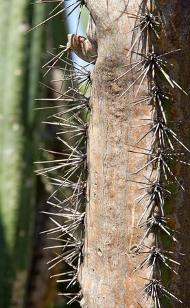 spines: Spines of cactus, island of Madeira Stock Photo