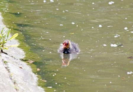 palmiped: Young bird coot macroule near a bank, pond in France