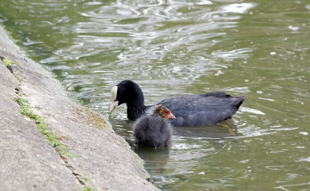 palmiped: Coot young bird, behind mom who eats, pond in France Stock Photo