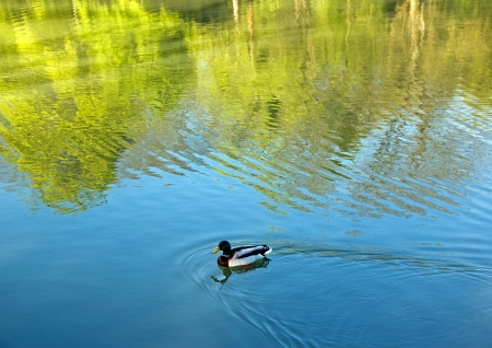 introspection: Duck mallard and the reflection of trees, the meditative peace