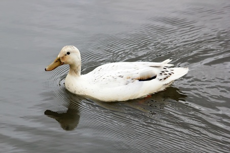 palmiped: White duck swimming in the quiet water of a pond in France Stock Photo