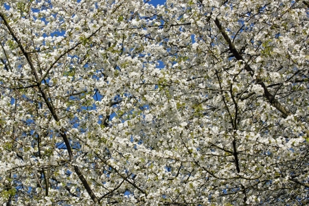 White flowers of a japanese cherry tree april in france stock photo stock photo white flowers of a japanese cherry tree april in france mightylinksfo