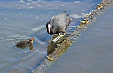 palmiped: Coot macoule tightrope walker, a pond in France Stock Photo
