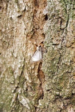 Moth on a trunk of locust tree