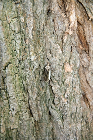 dissimulation: Moth on a trunk of locust tree