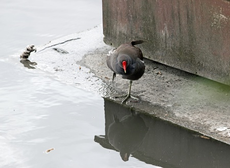 breeding ground: Moorhen looking at its reflection in the water  France  Stock Photo