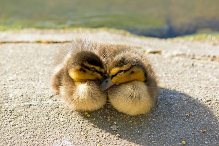Ducklings, mallard, mutual comfort  France