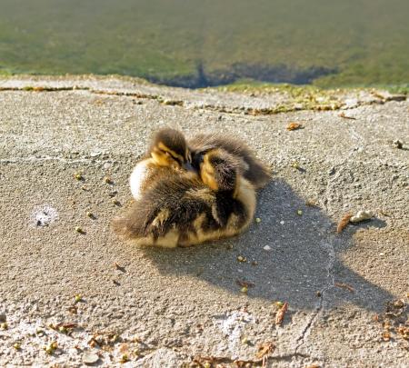 fraternidad: Hermandad de patos, �nades peque�a Francia
