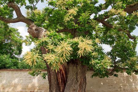 centenarian: Hundred-year-old sweet chestnut tree in flowers, garden in France, Europe