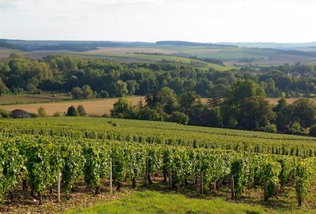 フランス ブルゴーニュ シャブリの丘のブドウ園 写真素材