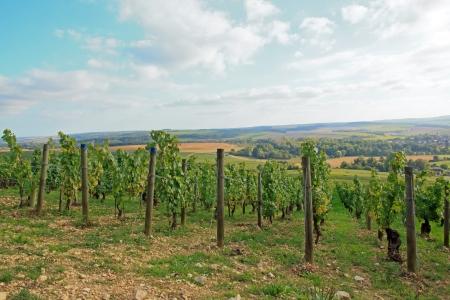 wine grower: Vineyards, Chablis Burgundy  France