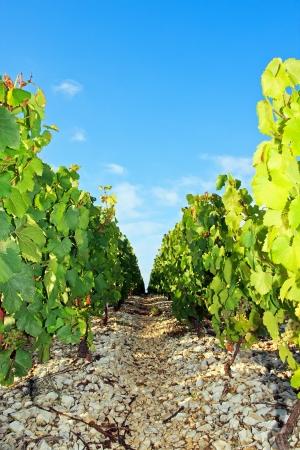 シャブリ フランス、ブルゴーニュのブドウ園のブドウ園の近くの岩場
