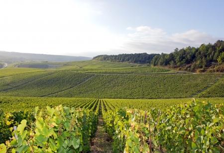 シャブリのブドウ畑、ブドウに近いフランス オセール ・ ブルゴーニュ 写真素材