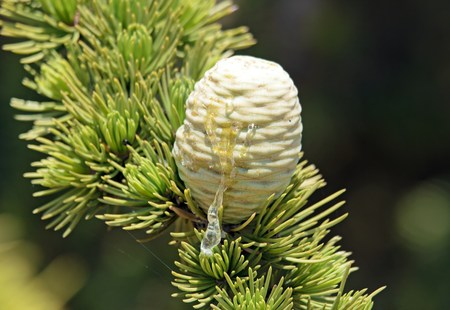 settles: Resin of pine cone, tree with pine in summer