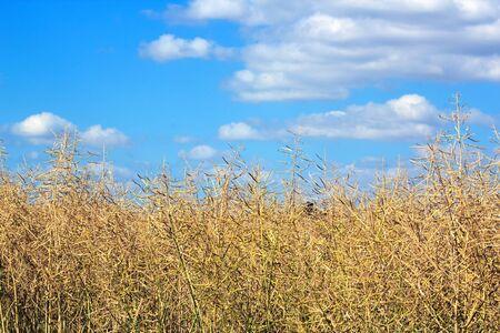 Field of colza on summer blue sky, countryside of Burgundy near Dijon  France