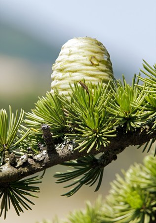 settles: Pine cone in summer, fruit not still mature