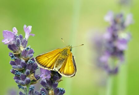 ochlodes: Butterfly  the sylvaine on a flower of lavender