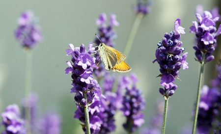 ochlodes: Butterfly  the sylvaine on a flower of lavender  France