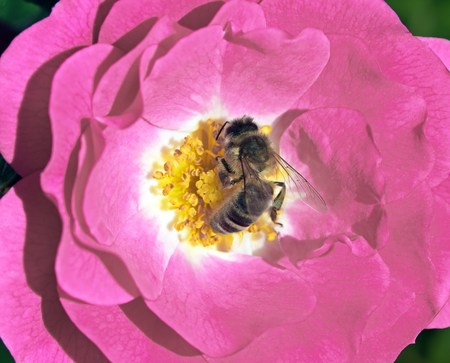 Bee in the heart of a rose Stock Photo