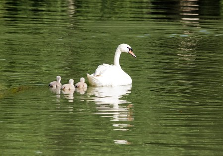 youngs: Female swan and its youngs, a walk in family