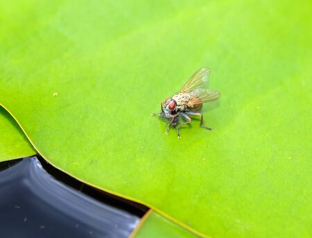 predatory insect: Coenosia Tigrinya predatory fly eating a small insect fly sitting on a lily pad Stock Photo