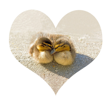 st  valentin: Two ducklings, the one against the other one, in a heart.