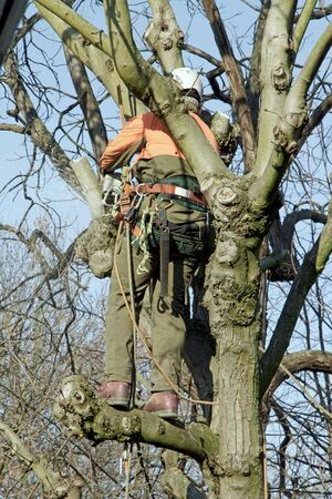 tree cutting: back lumberjack in a tree, cutting branches with a balancing lumberjack Stock Photo