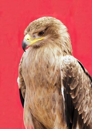 buzzard: Harris Hawk drawing portrait Central America Stock Photo