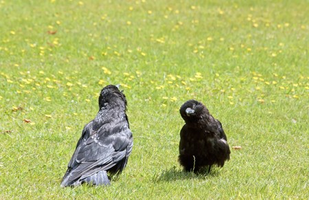 receptive: the conversation of two young ravens , conversation of crows on a lawn in summer