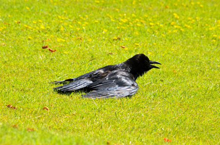 heat wave: raven in the sun with outstretched wings. bird suffering from summer heat