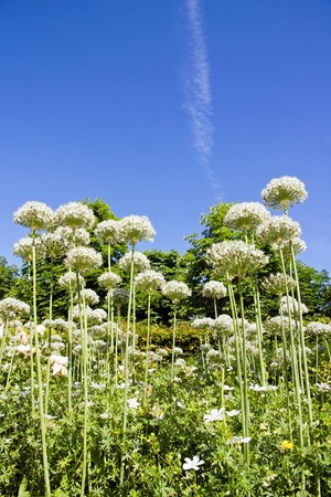 white nile: agapanthus in summer under a blue sky near Paris France Stock Photo