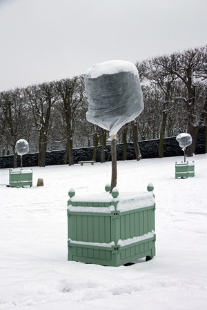 wintering: orange trees in snow, winter plants fearing protected by a veil of wintering