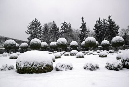 boxwood: A garden in winter, boxwood and yew trees in the snow. Stock Photo