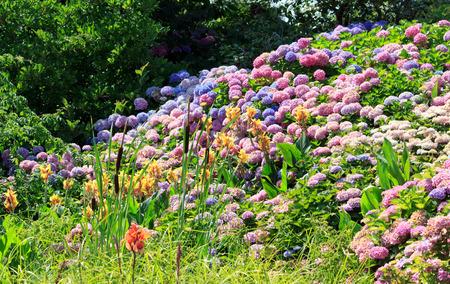 hortensias massives de toutes les couleurs en pleine floraison en été.