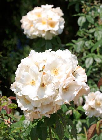 thé hybride rose, en été