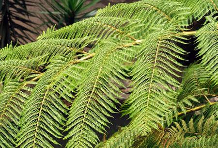 vegatation: tree fern, Madeira (Portugal)