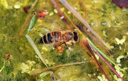 abeille potable à partir d'un point d'eau.