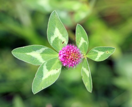 Clover in flower in summer. Close-up on a heart of clover in flower Stock Photo