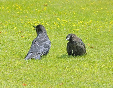 Two crows in discussion. Animal language between two crows
