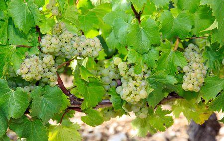 Chablis raisins, Auxerre, Bourgogne, France