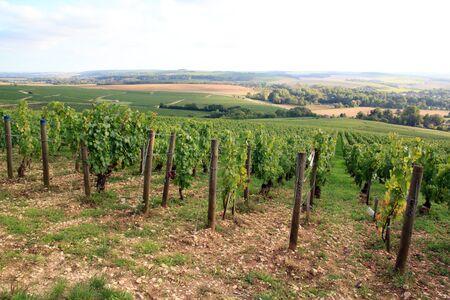 Vignobles de Chablis près d'Auxerre (Bourgogne, France).