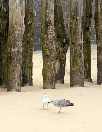Young gull with an adult, probably her mother. Behind them, the tree of the loves, where the lovers register their names. St Malo (Brittany France)
