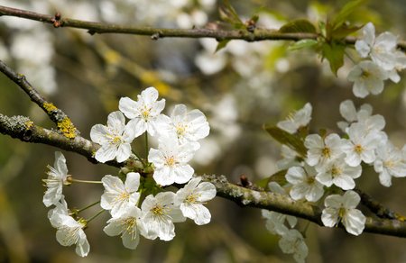 Flowers of Japanese white cherry trees. Blooming of the spring.