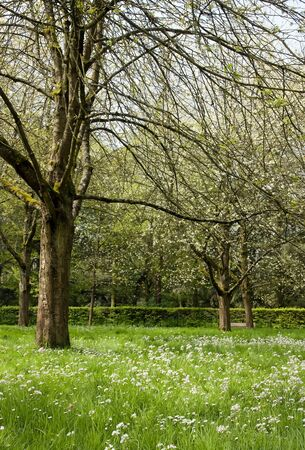 Japanese cherry blossoms in spring (near Paris, France). Stock Photo