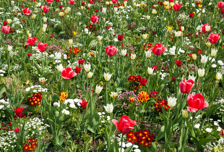 Tulip beds in town. La France. Flowers in the city in the summer. Stock Photo