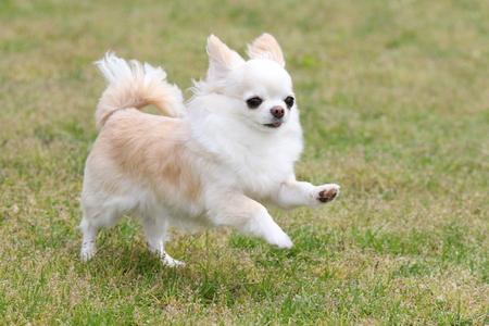 Chihuahua running